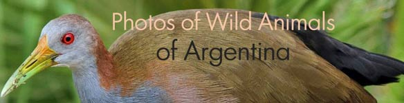 Photos of birds of Argentina