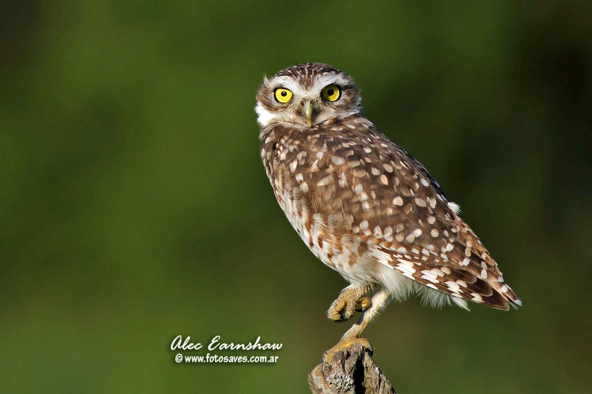Owl Pictures, Pictures of all the different types of owls Owl species with pictures